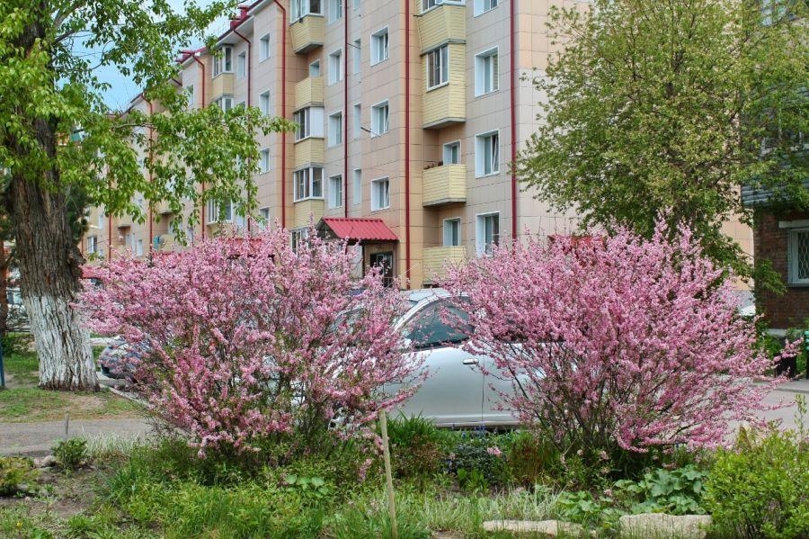 Цветущий май: бийчане любуются распустившимися черёмухой и миндалём