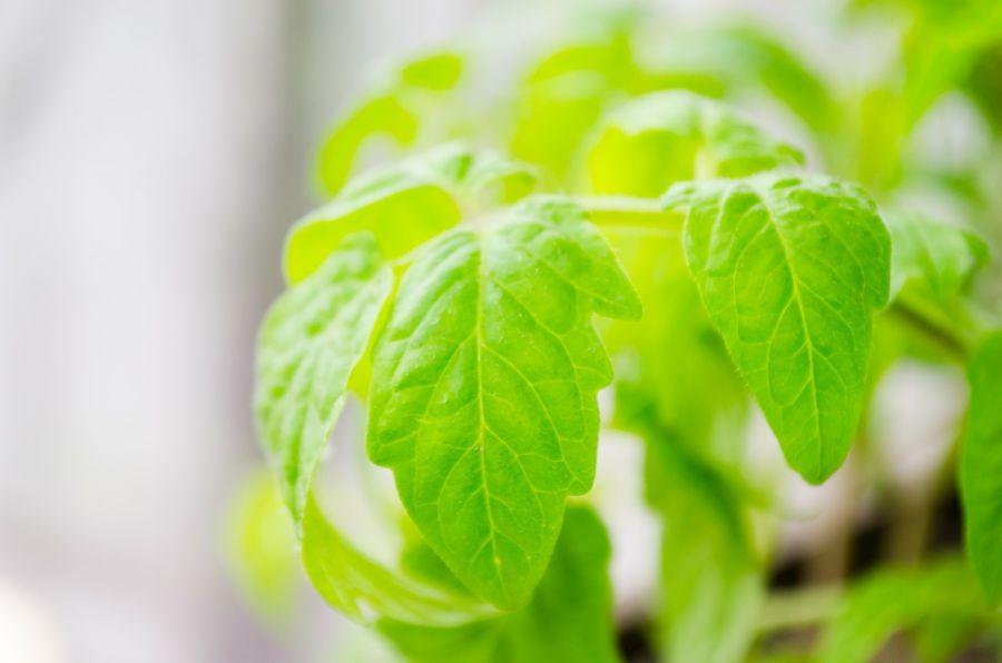 Спроси у рябины: когда можно высаживать рассаду помидоров в открытый грунт