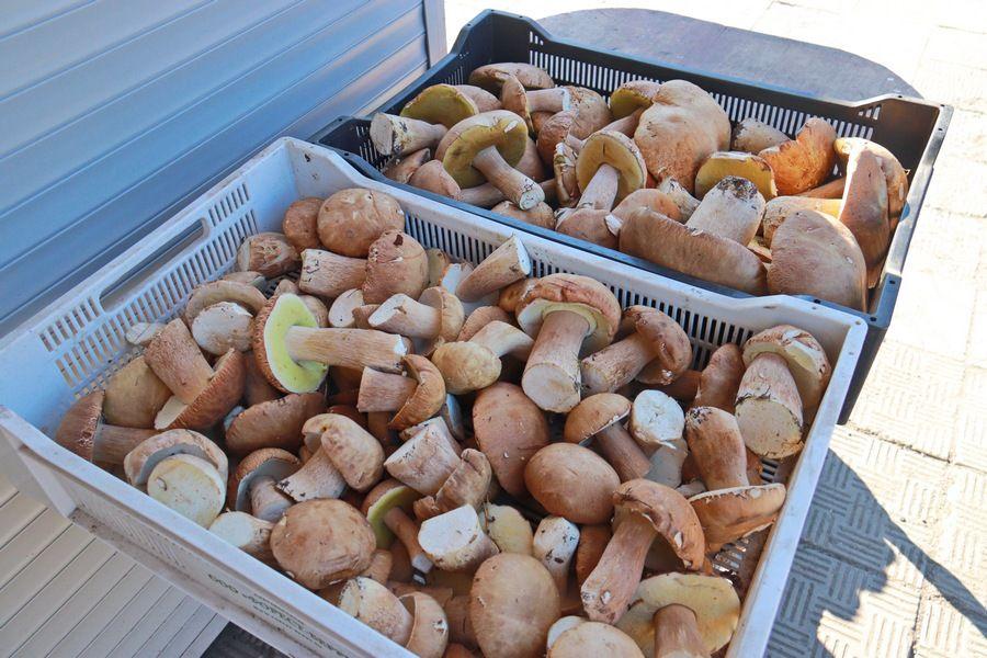 Фиолетовые и краснокнижные: какие грибы собирают в Алтайском крае
