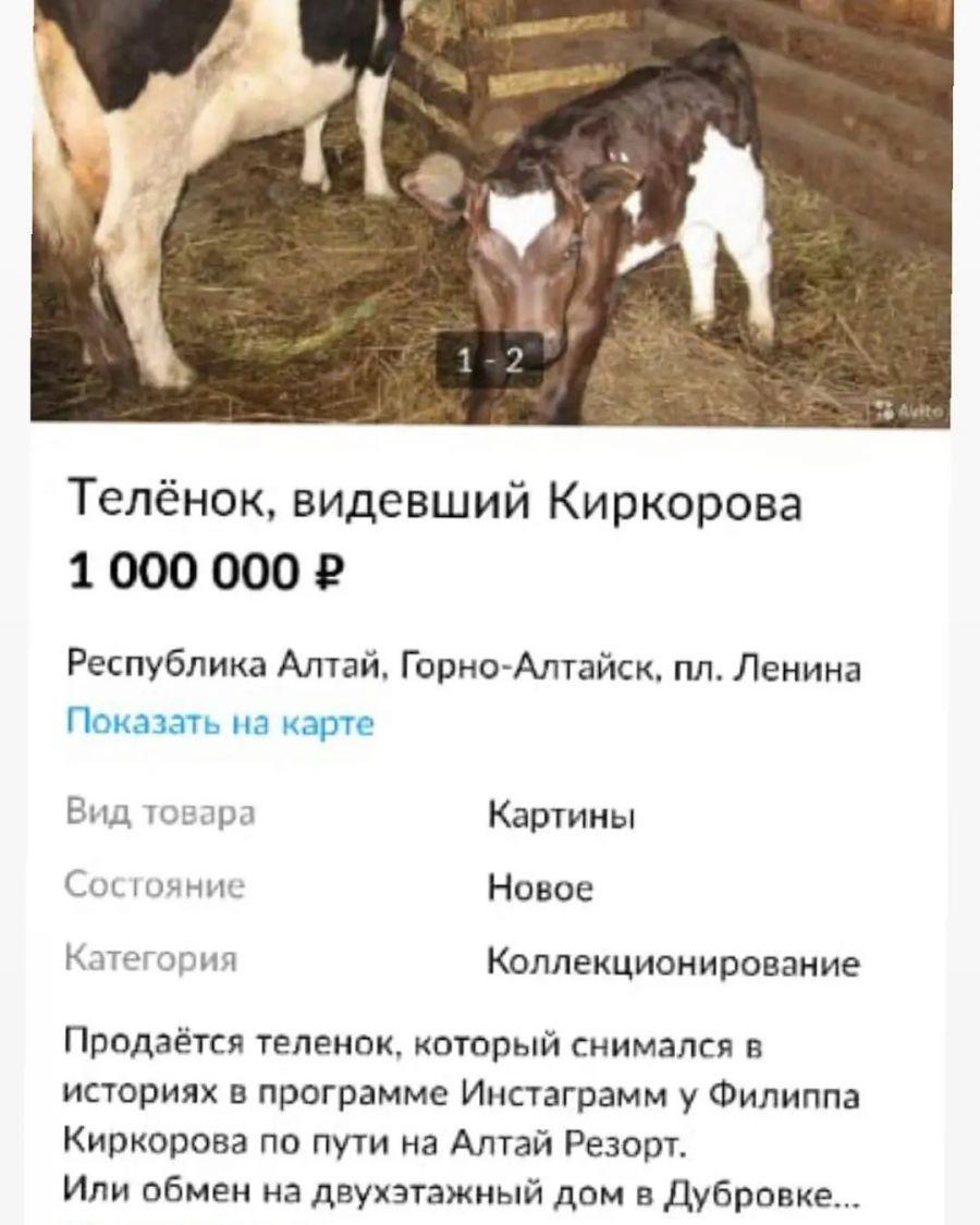 Золотой телёнок: на Алтае продают животное, попавшее в Instagram Киркорова