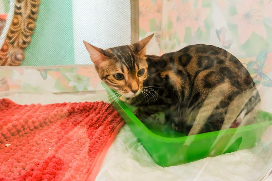 Кот в пакете: как проходят выставки породистых животных в Бийске